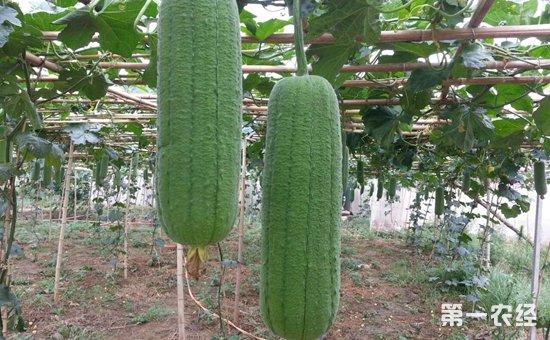 肉丝瓜有哪些?粗圆筒形丝瓜品种介绍