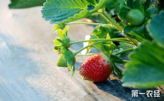 草莓园杂草如何防治?草莓园杂草综合防治措施