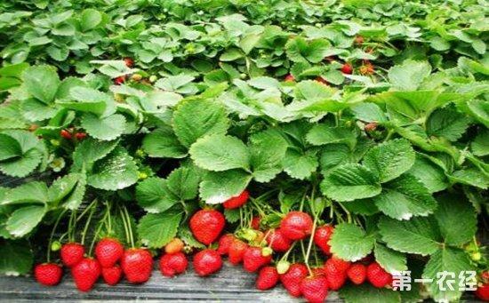 草莓灰霉病的发病症状及防治方法