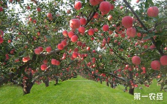 苹果园如何清园?春季苹果园清园注意事项