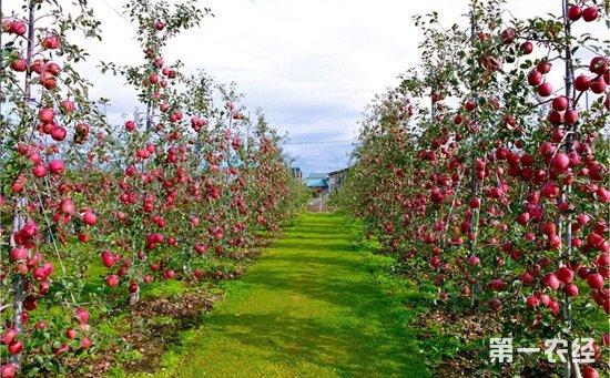 苹果树修剪过程中容易犯的错误