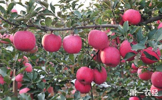 苹果树如何修剪 苹果树疏散分层形整形要点