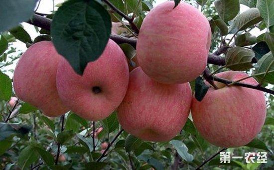 什么是苹果轮纹病?苹果轮纹病防治措施