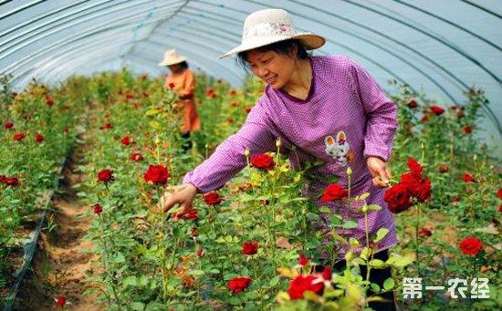 阳春大力发展花卉产业 高效农业托起致富梦