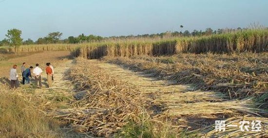 泰国甘蔗及白糖产量将创纪录高位