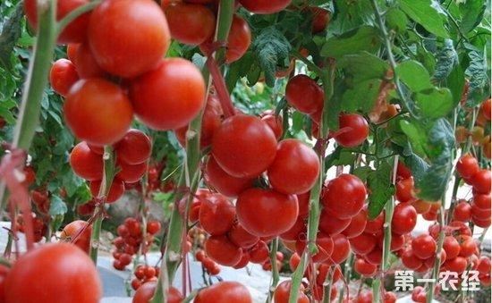 番茄高产早熟种植六大技巧