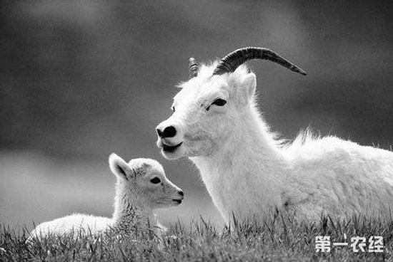 提高母羊繁殖率有啥好办法
