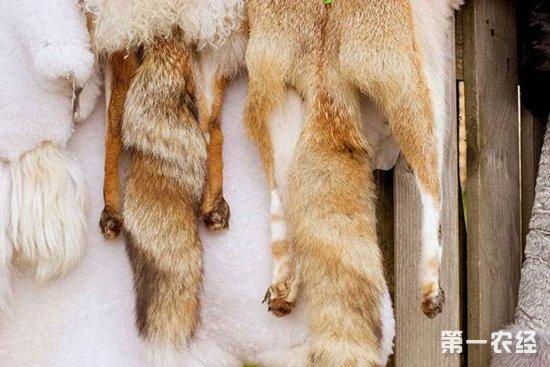 皮用狐的日常管理