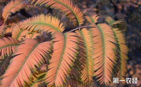 水杉有哪些常见的病虫害?水杉常见病虫害的防治措施