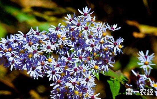 荷兰菊和紫苑的区别 为什么紫苑和荷兰菊容易混淆?