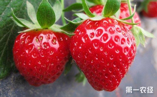 贵州威宁:生态草莓园开启村民致富新路子