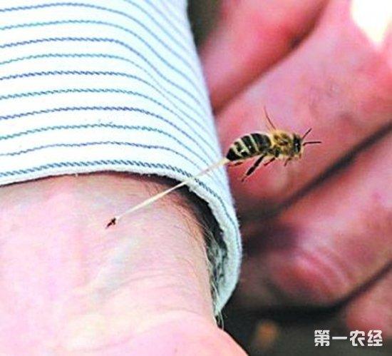 蜜蜂为什么蜇人后就会死?