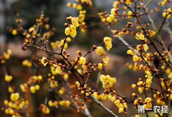 怎样让腊梅在春节开花?腊梅春节开花的诀窍