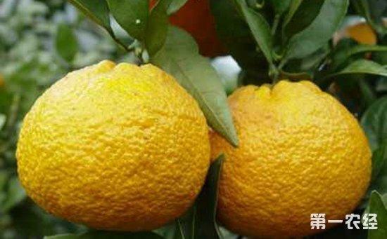 """吉林赛加村:""""金黄果""""铺就致富路 群众看到了新的希望"""