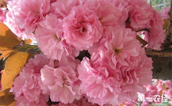 什么是樱花根瘤病?樱花根瘤病该如何防治?