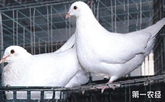 肉鸽如何养殖 新手养殖肉鸽的注意事项