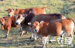 重庆开州张为伦养牛三年脱离贫困线