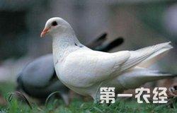 养鸽20年占据吉林市场6成的市场份额全靠绿色养殖!