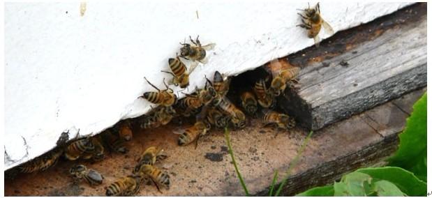 <b>农业科学:蜜蜂授粉对水果、蔬菜作物的影响</b>