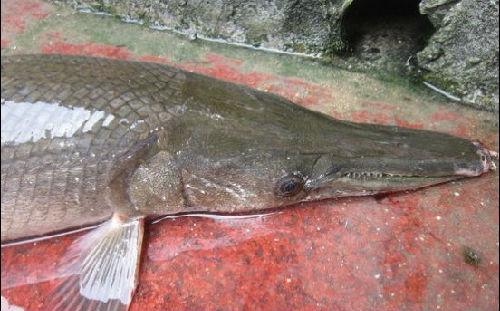 这两条怪鱼为世界十大凶猛淡水鱼类之