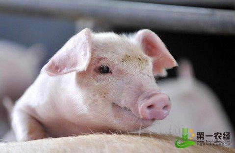 生猪市场供大于求 节前猪价开始走下坡路,第一农经