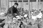 河南:养鸡场里织就90后创业梦想