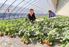 河北昌黎:引导农民种草莓  增加收入