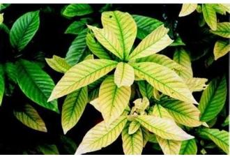<b>如何防治栀子花产生缺铁黄化病?</b>