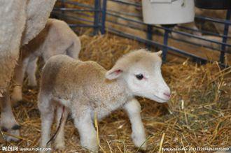 羊羔夏季患痢疾、肺炎的防治方法?