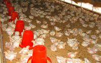 发酵床养鸭技术知多少??