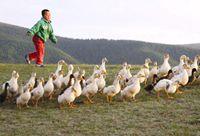 想养出最棒的鸭?学会做牧鸭人!