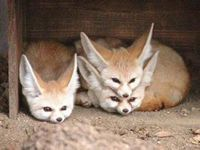 "<b>""B1-狐狸维生素""的缺乏症与治疗</b>"