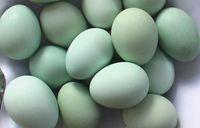 <b>你的火鸡产蛋达标了吗?</b>