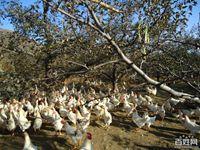 果园养鸡——风险最低化