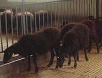 养王:乌骨羊的养殖技术归纳总结