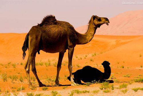 骆驼难产治疗要点?