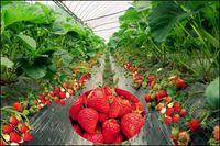 <b>温室草莓?火了!</b>