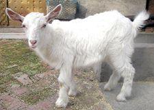 <b>羊饲养,喂养,管理的技术要点</b>