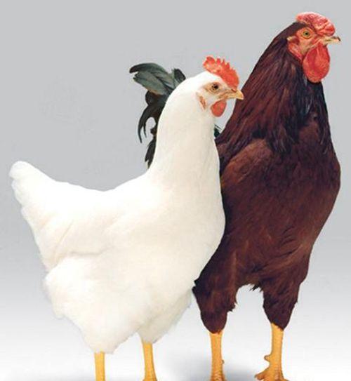 蛋鸡刺种免疫操作过程