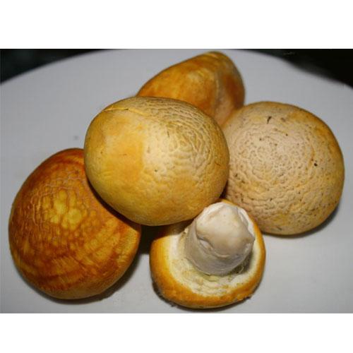 祁连黄蘑菇