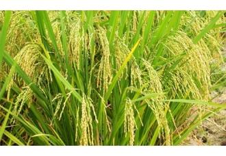 <b>转基因水稻和转基因玉米重获安全证书</b>