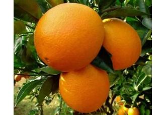 """广西特产:""""柑桔皇后""""--富川脐橙"""