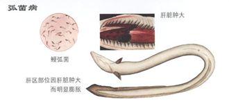 如何防治鳗鱼弧菌病?