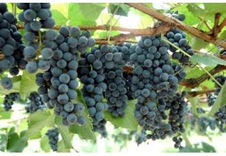 """湖南特产:""""带刺的葡萄""""--高山葡萄"""