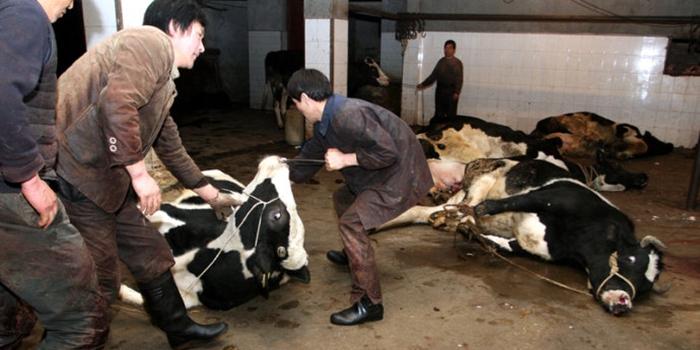 2015年中国奶农,山穷水尽疑无路?