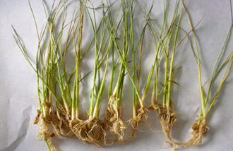 水稻种植为什么会发生黄叶病呢?