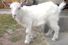 <b>羊常见病治疗时常错误用药</b>