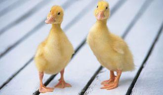 冬季大棚鸭得感冒防治要点