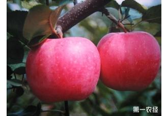 """山东栖霞苹果借力电商""""发酵"""""""
