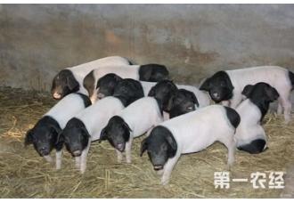 浙江金华两头乌猪获得5000万元政策扶持